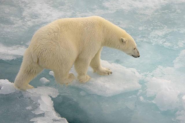 polar-bear-taken-in-the-arctic