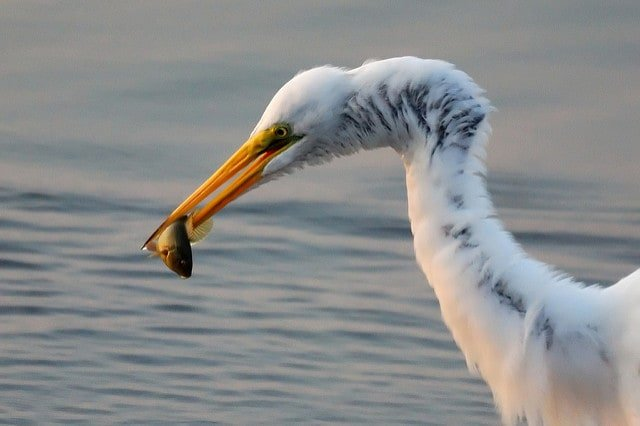 great-egret-feasts-on-a-fish
