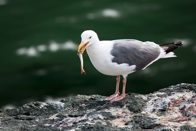 seagull-in-trinidad-eating-small-lunch