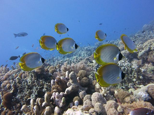 butterflyfish-panda-butterflyfish
