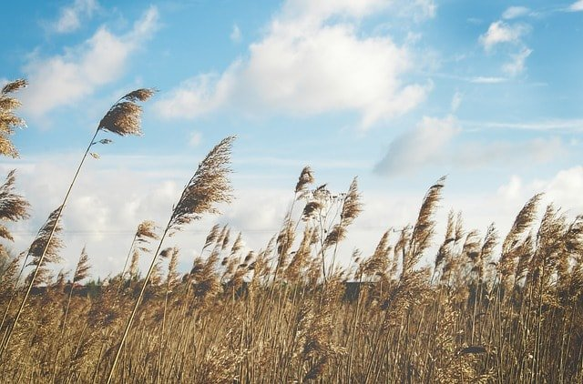 reed-grasses-wind-nature-plant