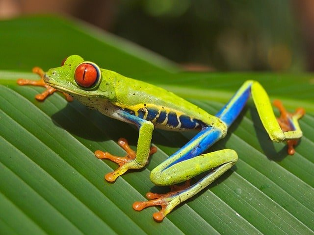 frog-red-eyed-tree-amphibian-tropical-rainforest