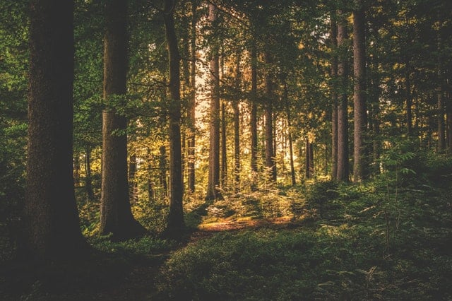conifer-dawn-daylight-evergreen