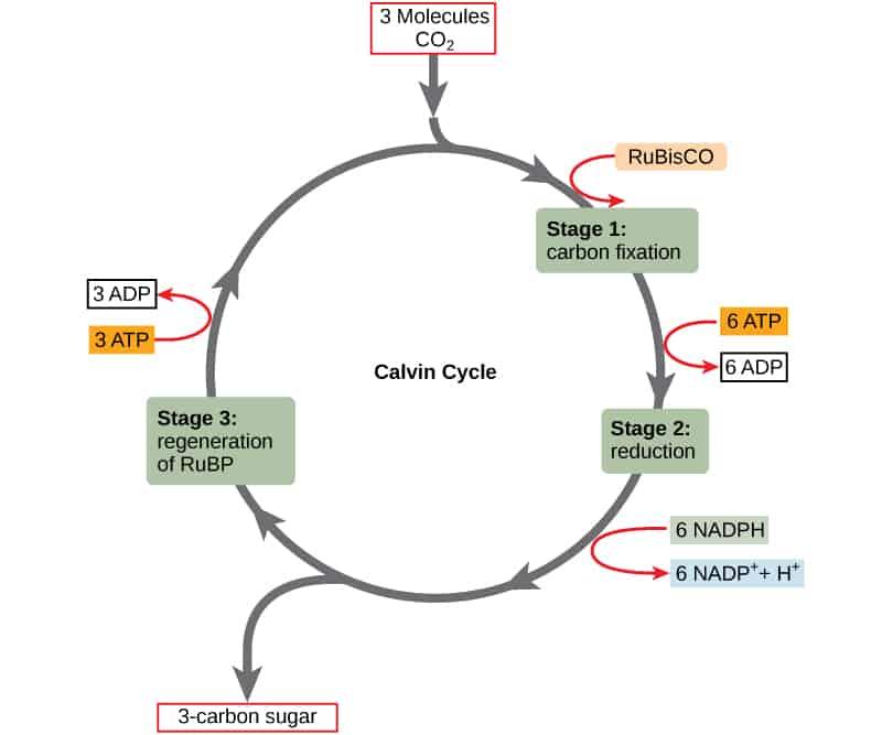 calvin-cycle