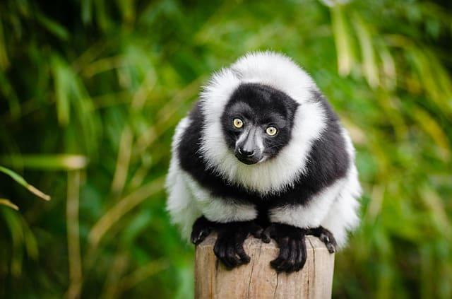 lemur-madagascar-primate-funny