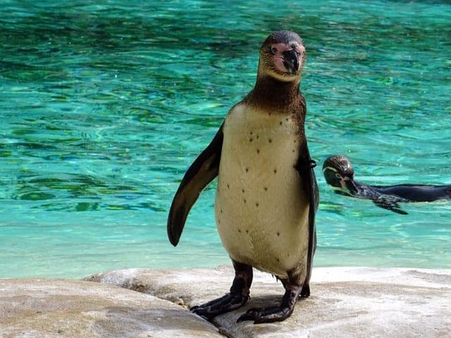 animals-mammal-penguins-standing