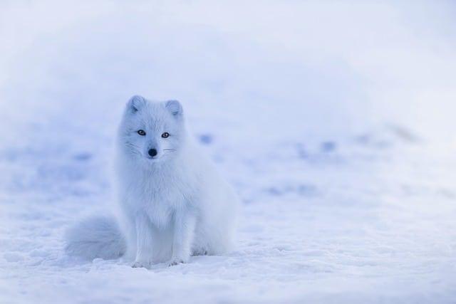 iceland-arctic-fox-fox-animal
