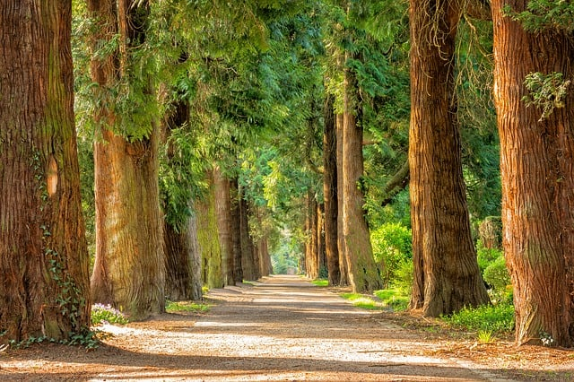 avenue-trees-away-walk-green