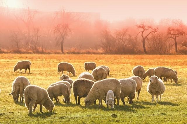 animal-sheep-flock-of-sheep-meadow