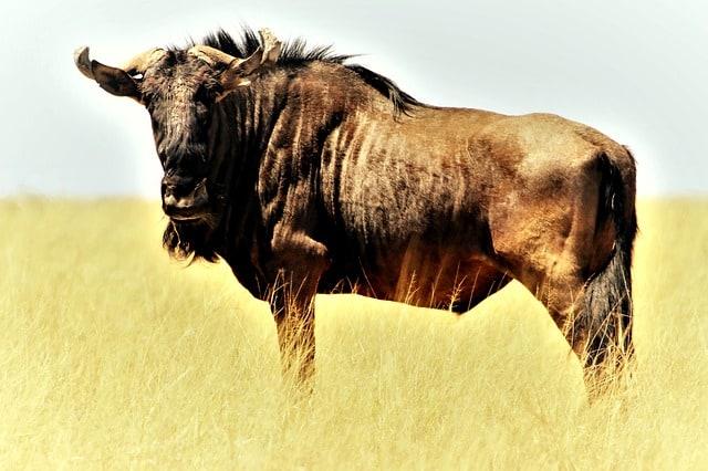 blue-wildebeest-gnu-shaggy-beard