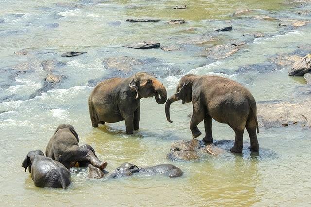 sri-lankan-elephant