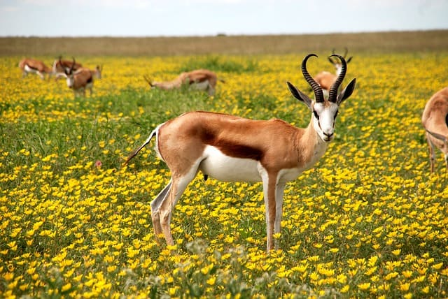 antelope-nature-flowers-meadow