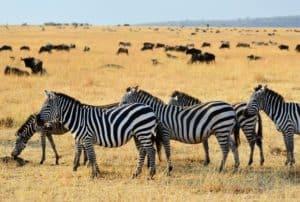 zebra-wildlife