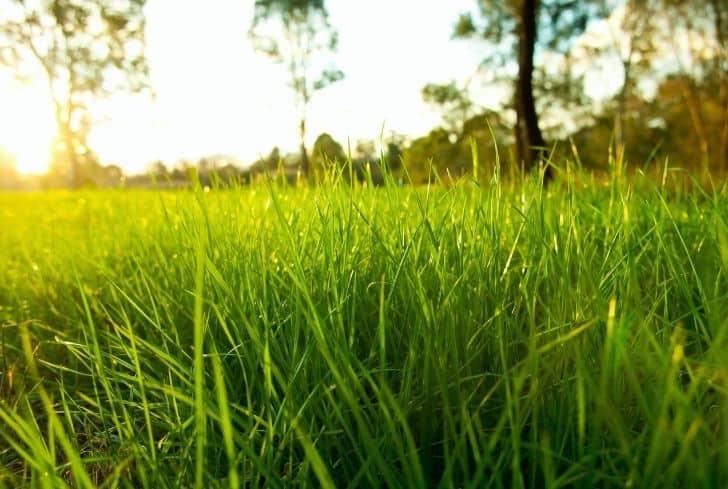 Lush Grasses