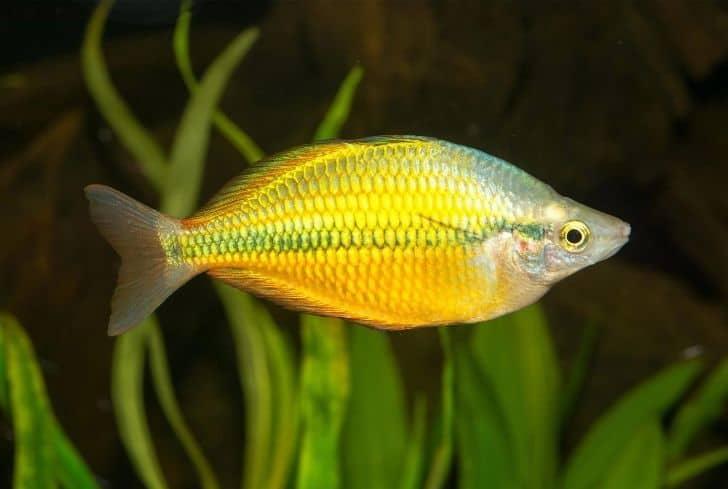 Axelrodi rainbow fish