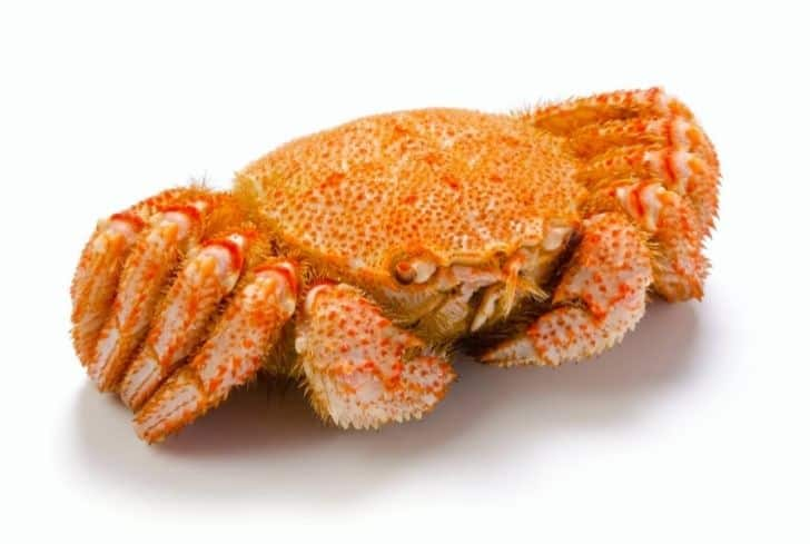 Horsehair Crabs