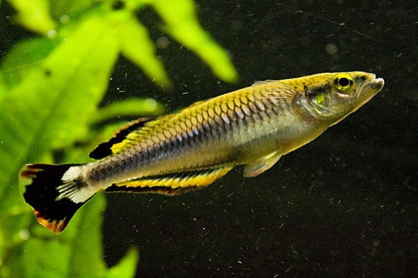 Madgascan-Rainbowfish