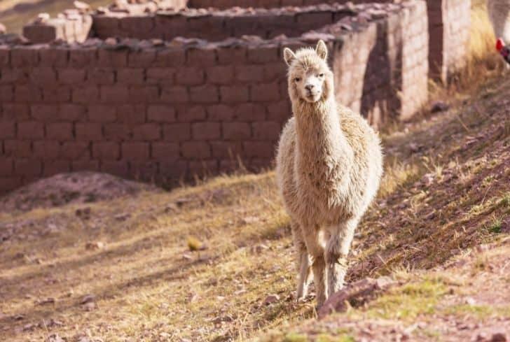 Medium Llama