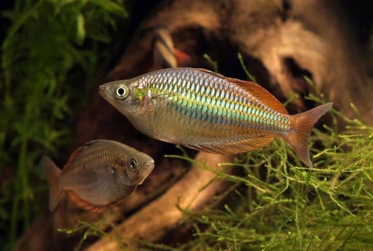 Melanotaenia splendida- Eastern rainbowfish