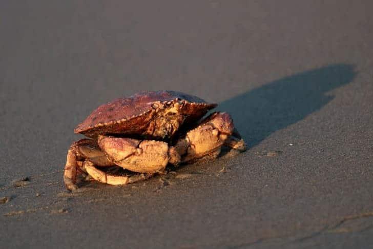 Peekytoes Crabs