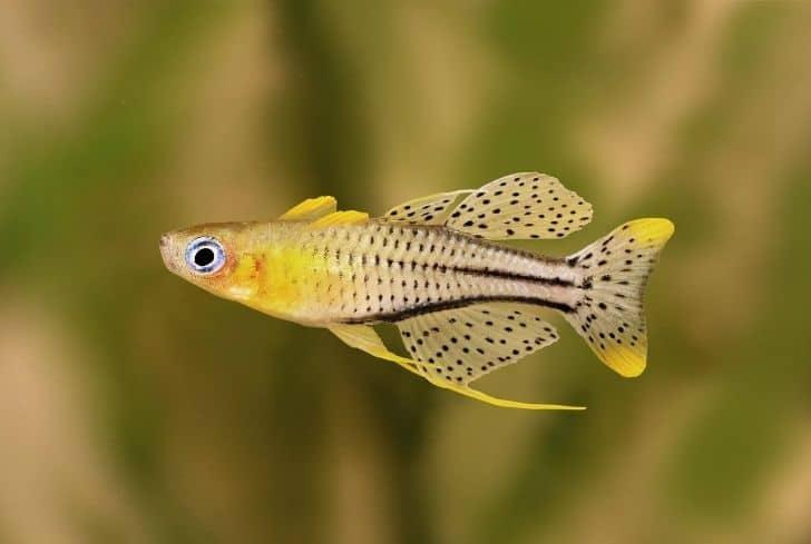 Pseudomugil rainbow fish