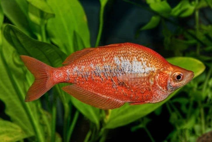 Red Irian rainbowfish-Glossolepis incisus