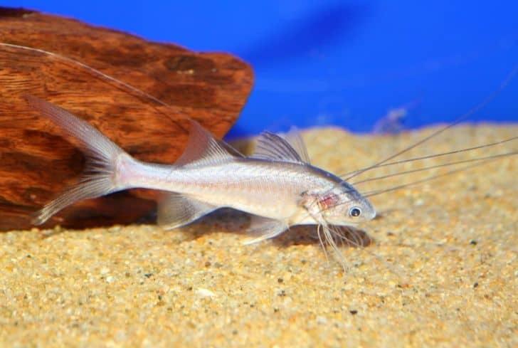 Threadfin rainbow fish
