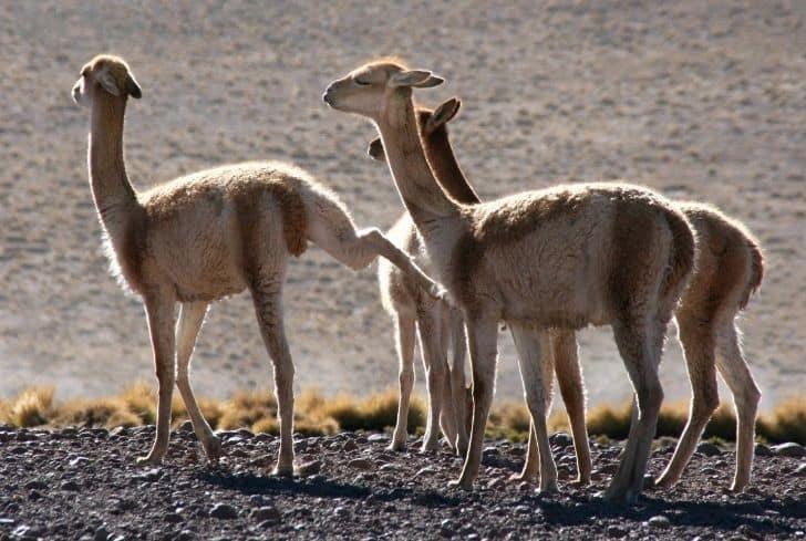 Vicuna Llamas