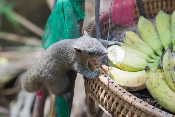 brown-squirrel-eating-bananas