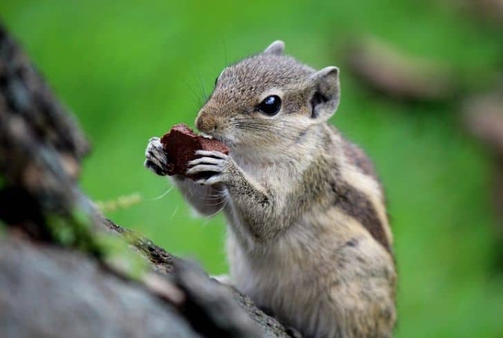 hungry-squirrel-eating-cake