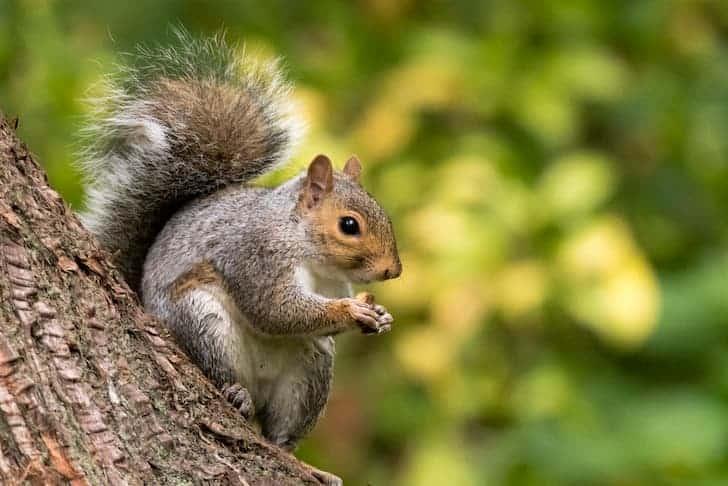 photo-eastern-gray-squirrel-sciurus-carolinensis