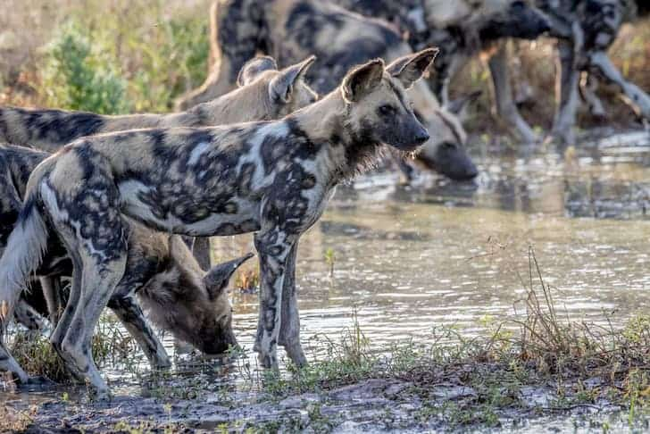 photo-pack-of-african-wild-dogs