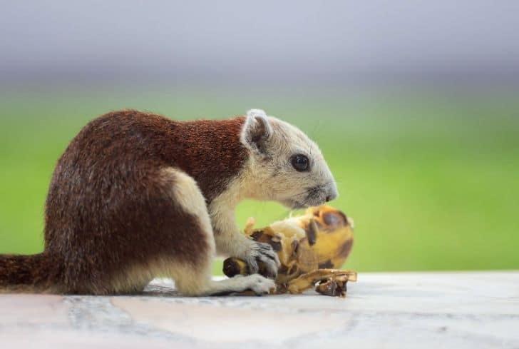squirrel-eating-banana