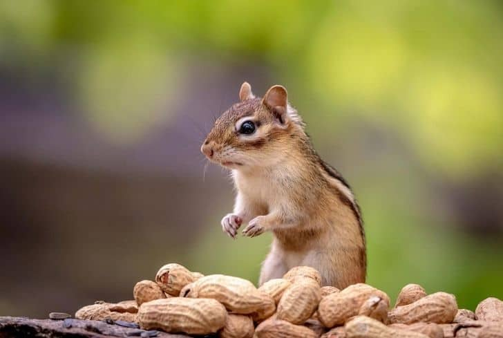 squirrel-eating-peanut