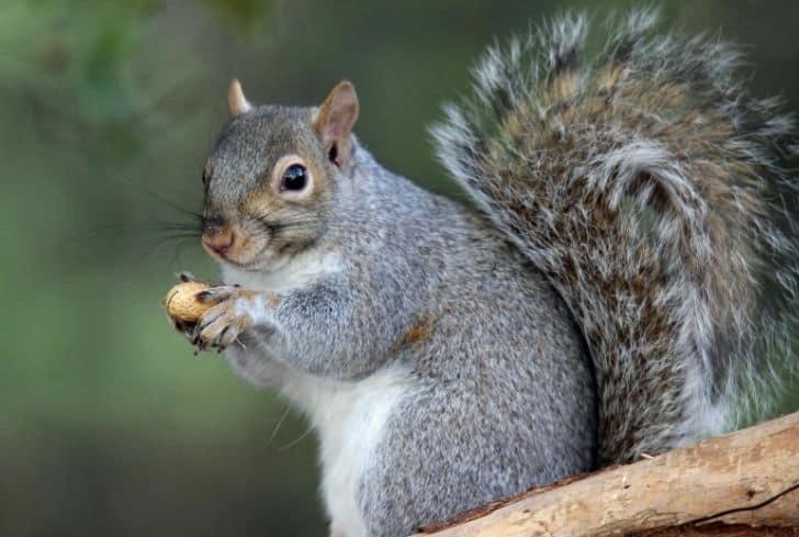 squirrel-holding-peanut