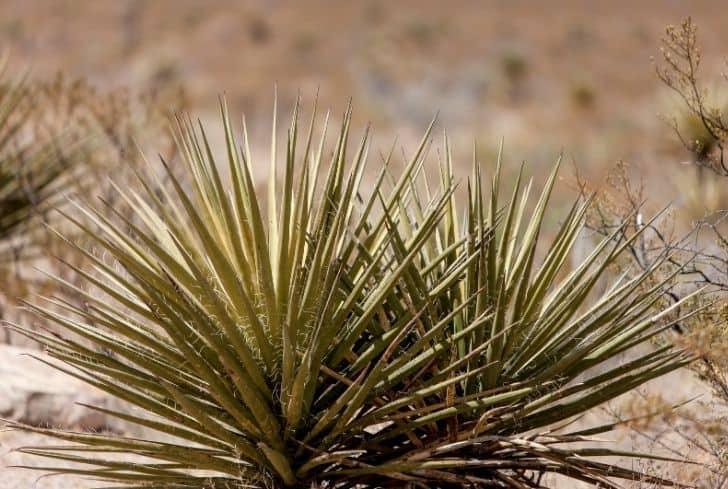 desert-plant