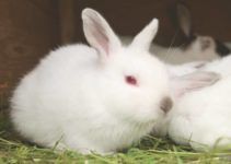 Why Do White Rabbits Have Red Eyes? (Albinism)