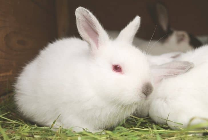 rabbit-red-eyes