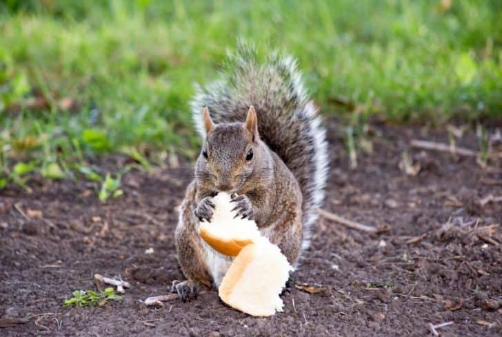 squirrel-eating-bread