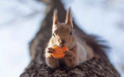 Can Squirrels Eat Carrots?