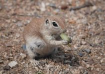 Can Squirrel Eat Grapes?
