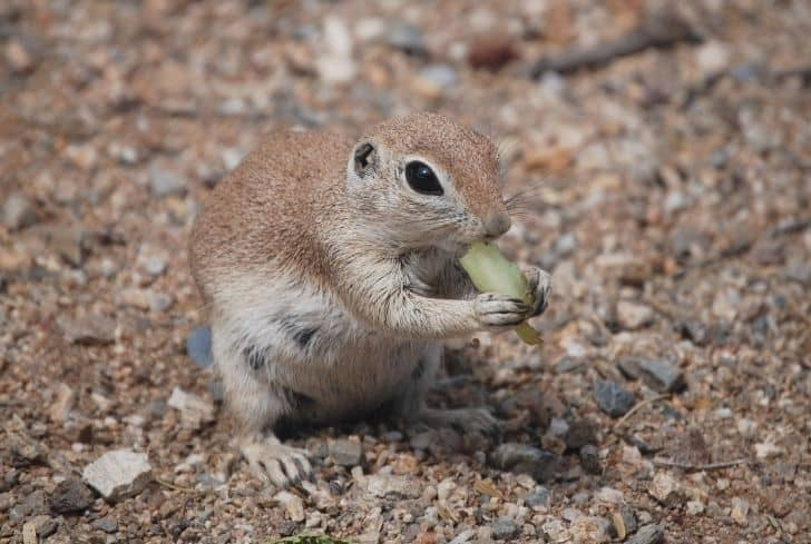 squirrel-eating-grapes