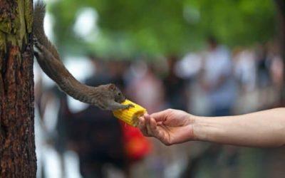 Can Squirrels Eat Corn?