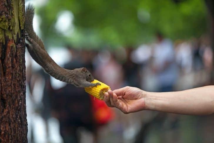 squirrel-eating-corn