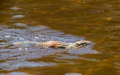 Can Squirrels Swim? (And Can They Drown?)