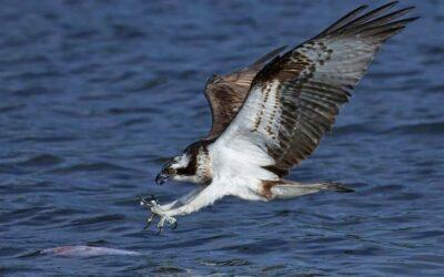 Can Osprey Swim?